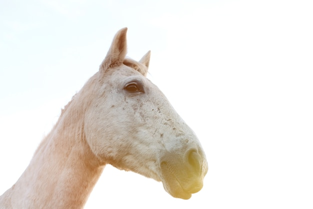 Portrait of a white horse with a blue sky