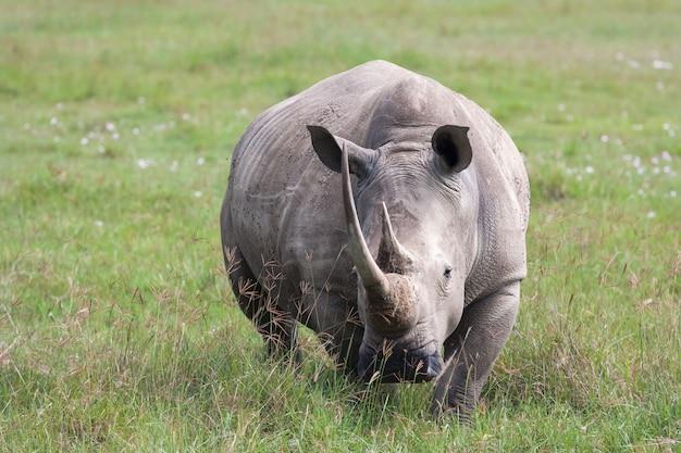 Portrait of white rhino on nakuru lake