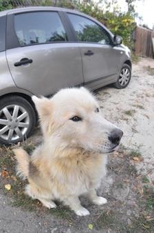Portrait of the white siberian samoyed husky dog with heterochromia