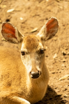 Portrait of a white tailed deer sitting on the ground