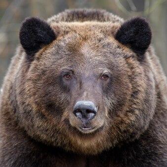 초상화 숲에서 야생 큰 갈색 곰 초상화입니다. 자연 서식지에서 위험한 동물.