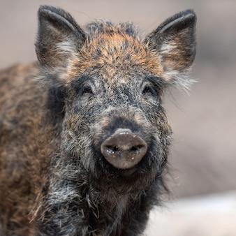 Portrait wild boar male in the forest, (sus scrofa)