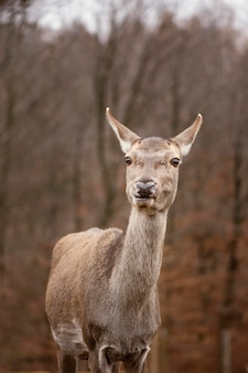 Portrait of wild deer in the forest