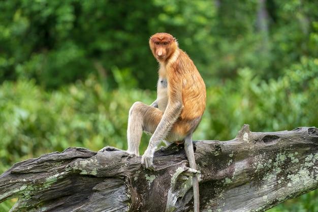 Portrait of a wild proboscis monkey or nasalis larvatus, in the rainforest of island borneo, malaysia, close up. amazing monkey with a big nose.