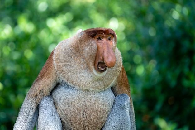 Portrait of a wild proboscis monkey or nasalis larvatus, in the rainforest of island borneo, malaysia, close up