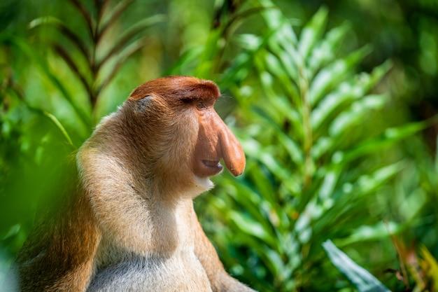 Portrait of a wild proboscis monkey or nasalis larvatus