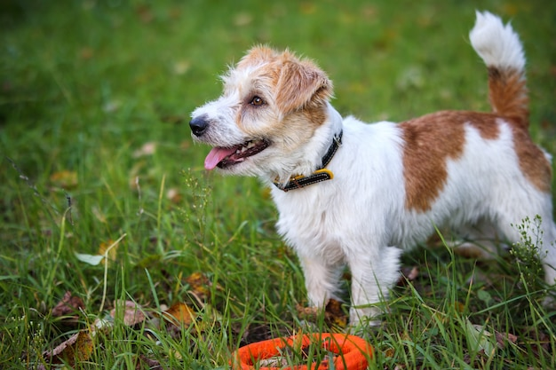 Portrait of wire-haired jack russell terrier on a background of yellow foliage in the park