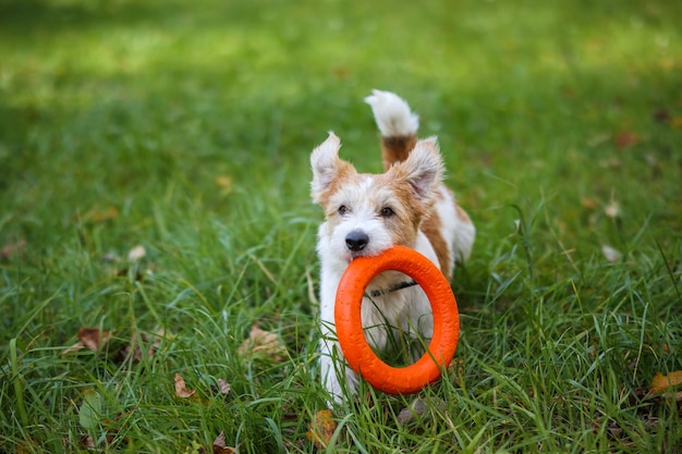 Portrait of a wire-haired jack russell terrier with an orange rubber ring in his teeth in the park, on green grass with fallen yellow autumn leaves.