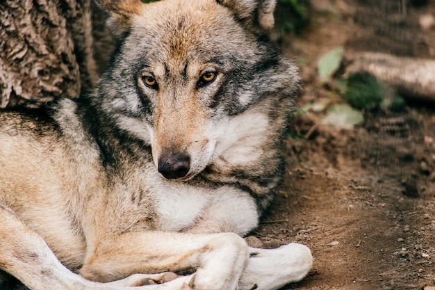 Portrait of wolf lying on the ground at nature