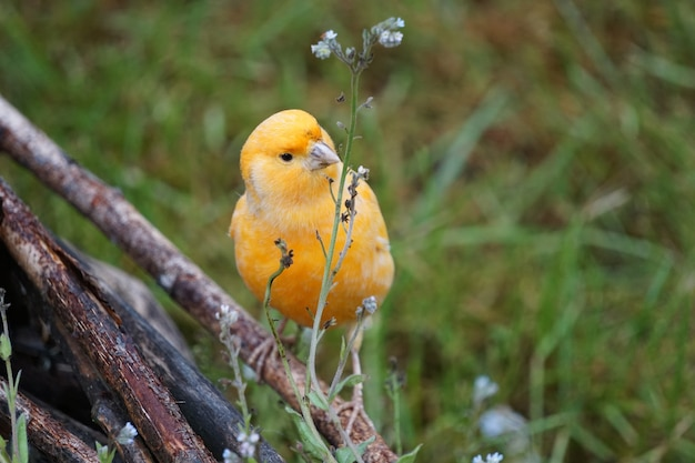 Portrait of a yellow canary perched on a log in the nature
