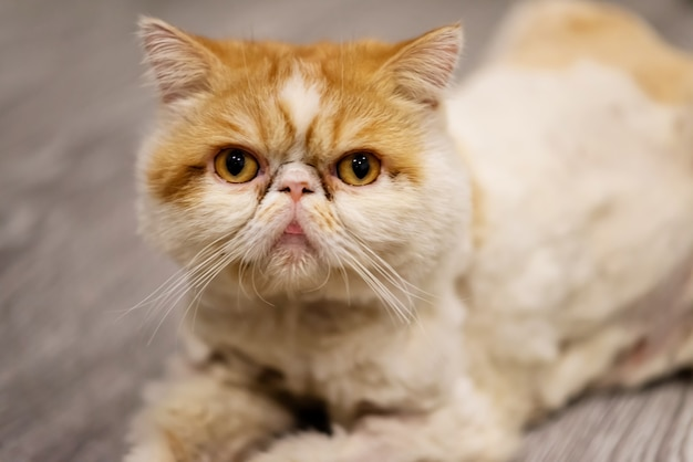Portrait of yellow short-haired exotic cat