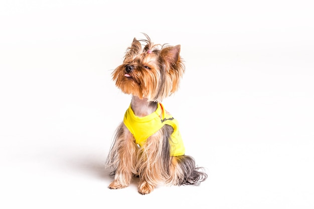 Portrait of yorkshire terrier sticking tongue out