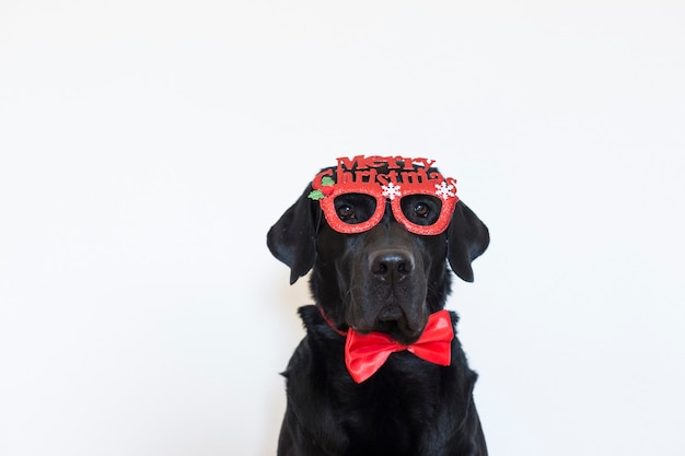 Portrait of a young beautiful black labrador wearing glasses with merry christmas sign and a red bowtie. looking at the camera. christmas concept