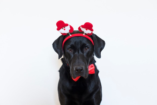 Portrait of a young beautiful black labrador wearing a santa diadem, red bowtie and looking at the camera. christmas concept