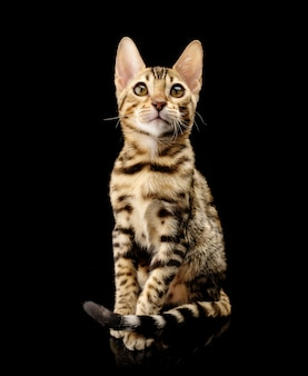 Portrait of young bengal purebred cat on black.