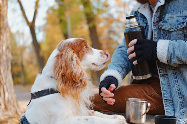 Portrait of a young cocker spaniel licking his nose and looking at his owner. a man and his pet on an autumn walk or picnic in the park, dog and pet owner communication concept