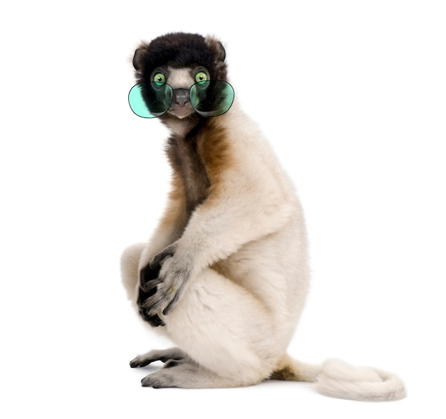 Portrait of young crowned sifaka wearing glasses, propithecus coronatus, sitting against white wall
