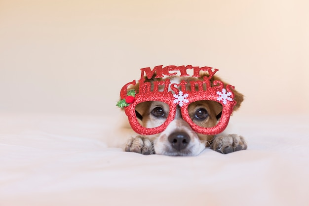 Portrait of a young cute dog lying on bed and wearing glasses with merry christmas sign. christmas concept