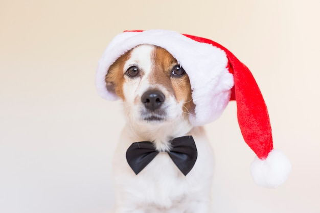 Portrait of a young cute dog wearing a santa hat and a black bowtie. christmas concept