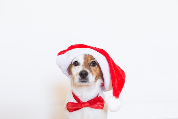 Portrait of a young cute dog wearing a santa hat and a red bowtie. christmas concept
