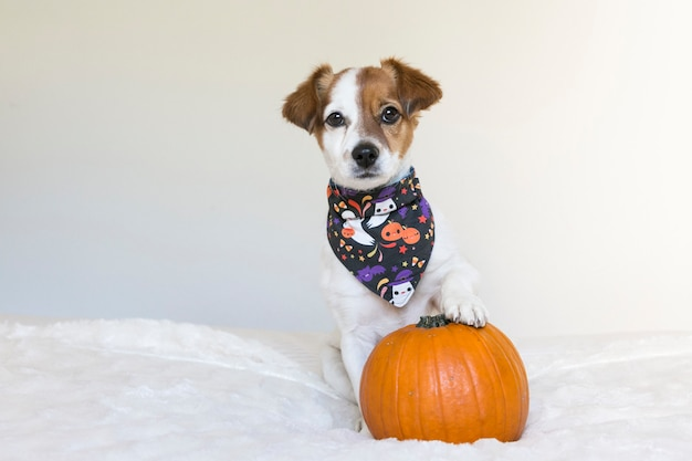 Portrait of a young cute small dog posing on bed with a halloween bandana and a pumpkin