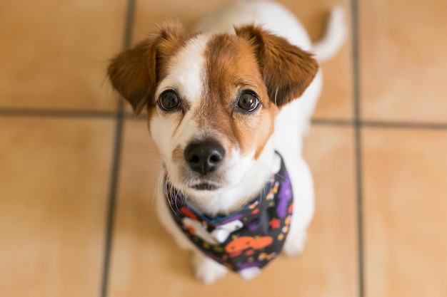 Portrait of a young cute small dog posing with a halloween bandana