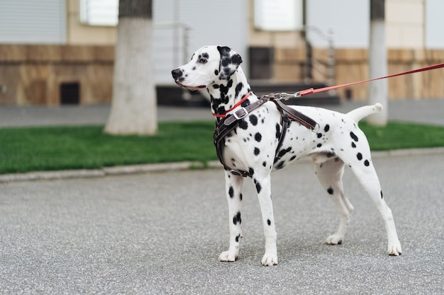 Ritratto di un giovane cane dalmata su una strada cittadina, un bellissimo cane bianco punteggiato cammina, copia spazio