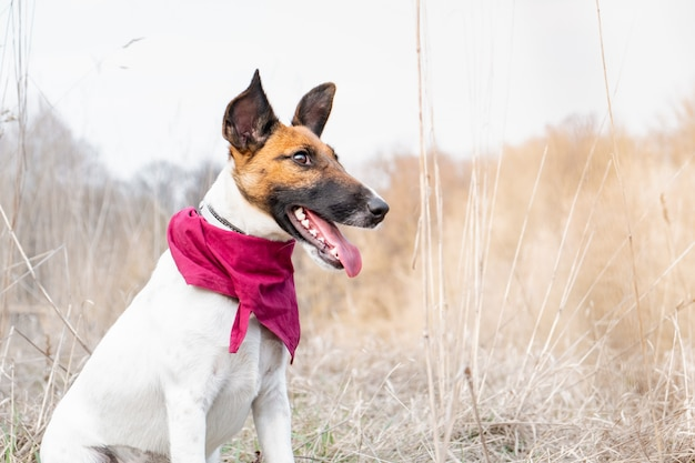 Portrait of a young dog in bandana sitting in the grass. smooth fox terrier puppy enjoying great weather outdoors