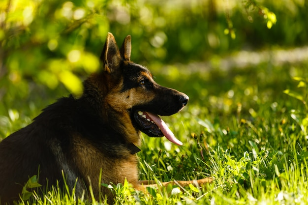 Portrait of young dog german shepherd at sunset