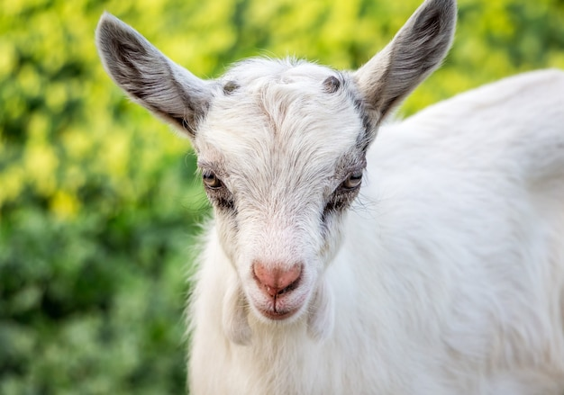 Portrait of a young goatling on a green blurry background. breeding goats on the farm_