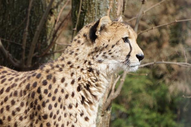 Ritratto di un giovane leopardo che guarda da vicino a destra in natura