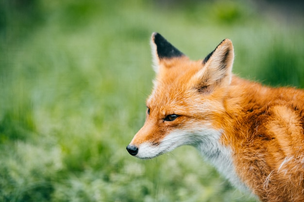 Portrait of young little red fox on green grass