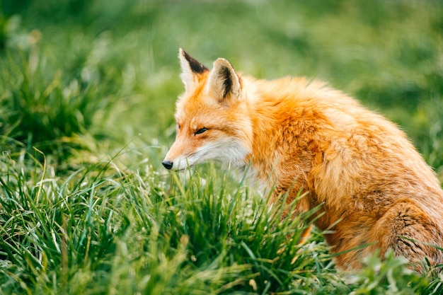Portrait of young little red fox sitting on green grass at wild nature outdoor.