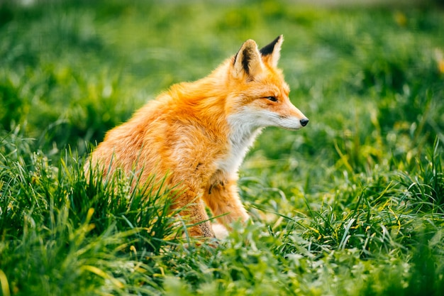 Portrait of young little red fox sitting on green grass