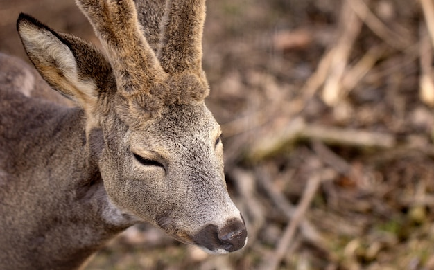 Portrait of young male deer, closeup