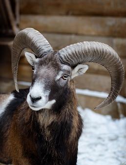 Portrait of a young mouflon