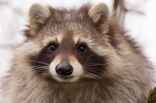 Portrait of a young raccoon close up