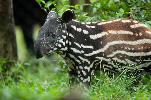 Portrait of young tapir (tapirus indicus)