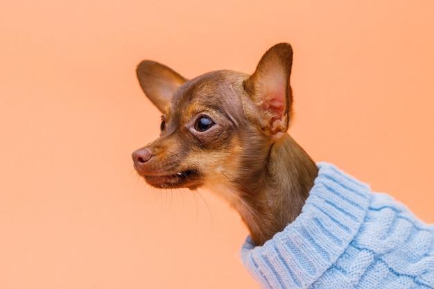 Portraite of cute dog in sweater