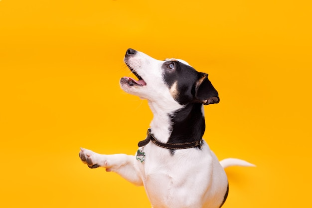Портрет счастливого щенка джек рассел терьера на желтом фоне.