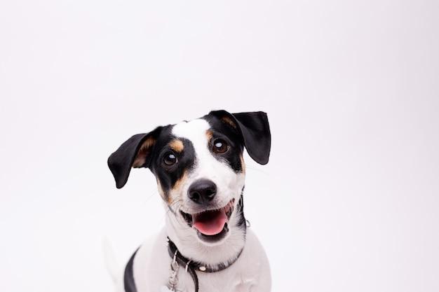 Портрет щенка джек рассел терьера. собака.