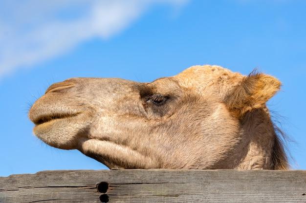 Portraitr of a camel
