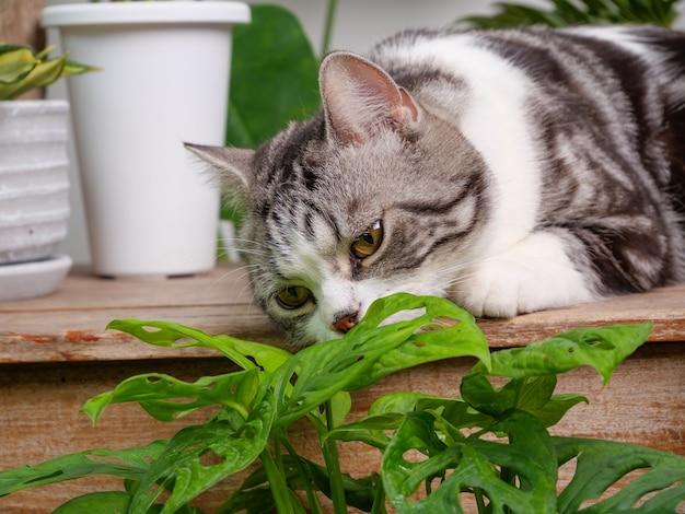 초상화 귀여운 고양이 나무 테이블에 앉아 냄새 집 식물 monstera, philodendron selloum, zamioculcas zamifolia, 뱀 식물, 딱정벌레 발견, ficus lyrata, 고무 식물, 선인장 화이트 룸 인테리어