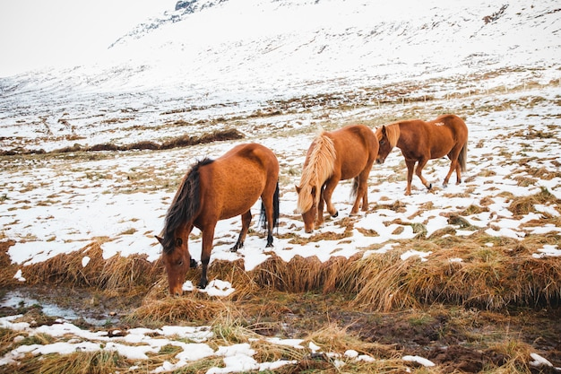Portraits of icelandic race horses on a snowy mountain