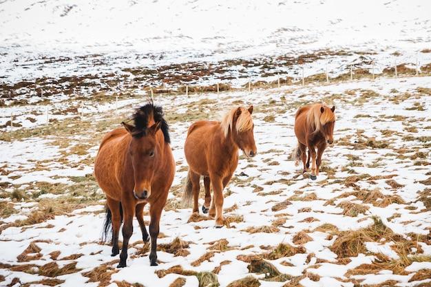 눈 덮인 산에 보호 된 순종 동물에 아이슬란드 어 경주 말의 초상화.