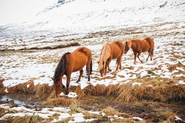눈 덮인 산에 아이슬란드 인종 말의 초상화