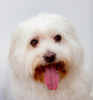 Portratit of a white dog with long hair