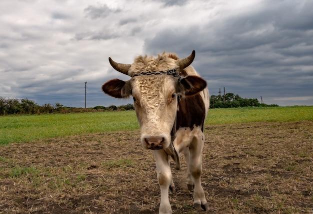 フィールドの牛の肖像画