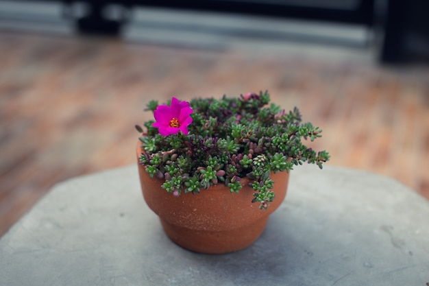 항아리에 있는 portulaca gilliesii. 즙이 많은 식물