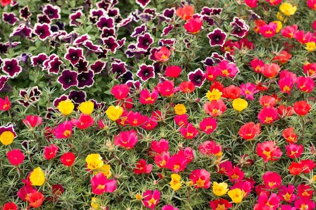 Portulaca grandiflora 스톱워치 공원의 화단에 노란색 주황색 꽃